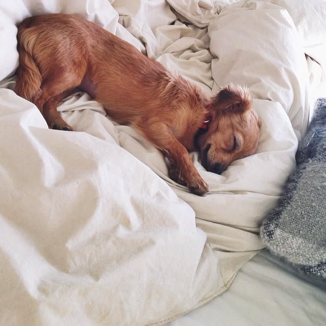 Sleeping dachshund puppy